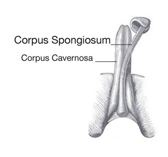 penis curvature from the corpus spongiosum