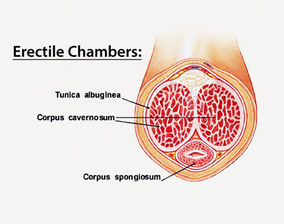 tunica albuginea and the erectile chambers